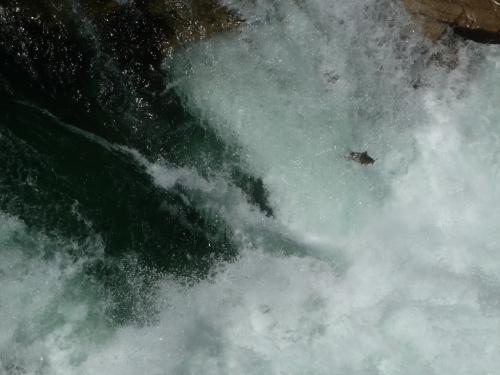 A salmon makes a bid to jump up the Rio Cisnes