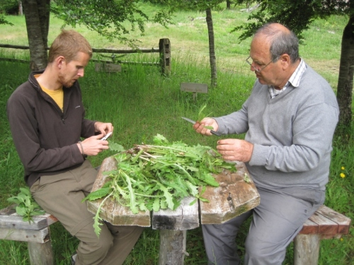 The ultimate relaxation method: Preparing dandelion leaves for steaming!