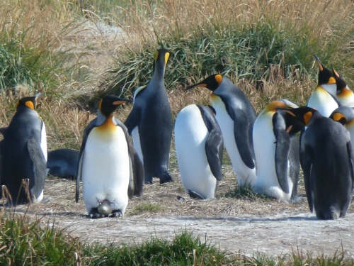 King Penguins on an Easter Egg-hunt – can you find it?