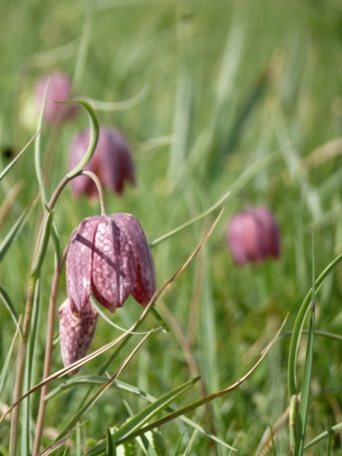 Snakeshead frittilaries in Iffley Meadows, Oxford